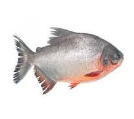 Red Pomfret Whole Round 1