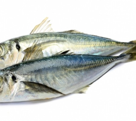 Horse mackerel 2