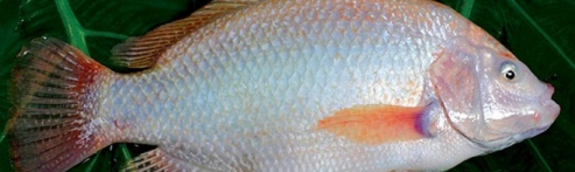 Red Tilapia Whole Round